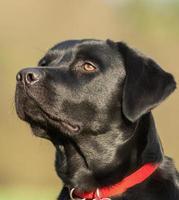 Labrador looking towards the left