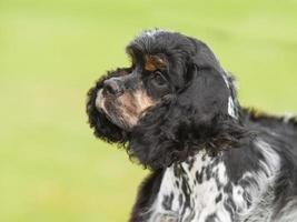Portrait of puppy cocker spaniel on green background