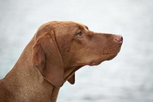 Perfil de perro vizsla húngaro foto