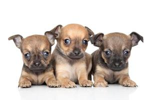 Cute Toy Terrier puppies on white background photo