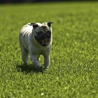 Cute running Pug