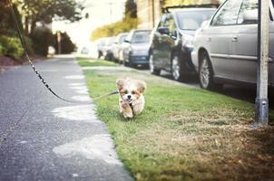 Cute shih-tzu puppy running on leash
