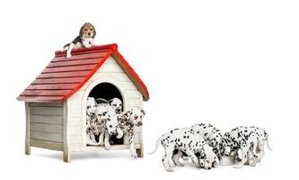 Dalmatian puppies playing and eating around a kennel