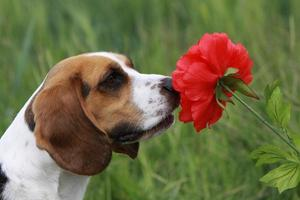 Beagle with Red Flower