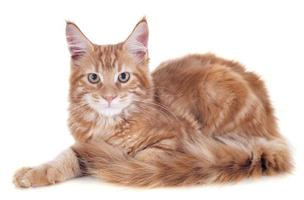 maine coon kitten photo
