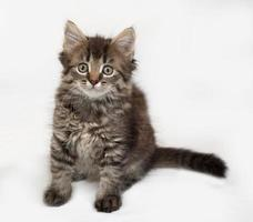 Siberian fluffy tabby kitten sitting on gray photo