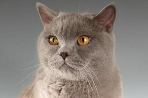gato sobre fondo gris foto