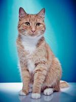 gato pedigrí de pelo rojo está mirando a la cámara derecha foto