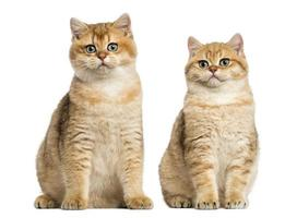 Two British shorthair sitting, isolated on white photo
