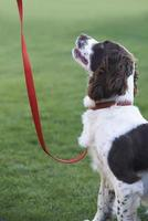 Obedient Spaniel Dog On Leash Outdoors photo