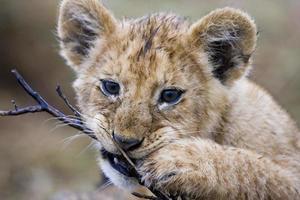 Lion cub ( Panthera leo ) photo