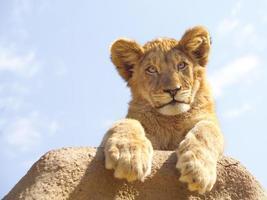 Leeuwen welp