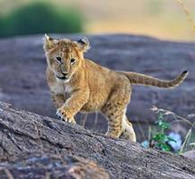 masai mara leones