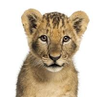 Close-up of Lion cub looking at camera, 10 weeks old