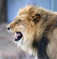 rugido del león africano foto