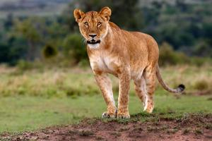 Lioness observed three Cheetahs and gets ready to chase them