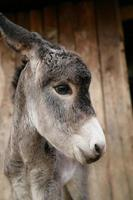 very cute young donkey