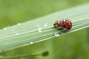 Love-making ladybugs couple photo
