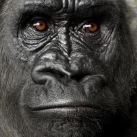 Young Silverback Gorilla photo