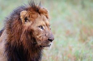 Male lion close up portrait photo