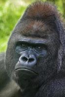 Portrait of a silverback on green background.