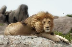 modèle de lion mâle