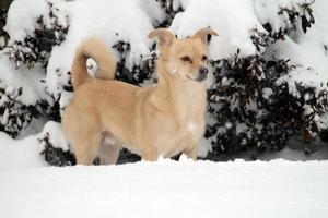 tan hond in de sneeuw