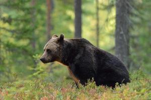 urso marrom sentado na floresta