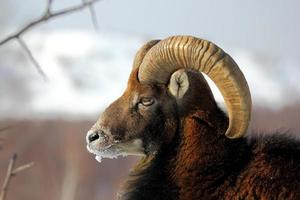 mouflon male in winter photo
