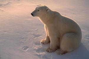 Polar bear in Canadian Arctic,backlit by low sunlight