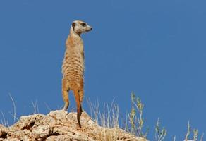 Meerkat on a hill with a blue sky background