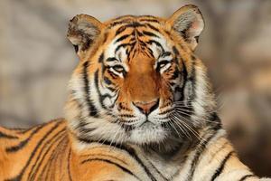 retrato de tigre de bengala