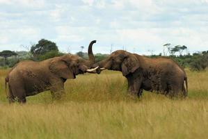 Male elephants fighting photo