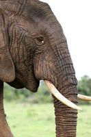 profil d'éléphant d'Afrique
