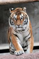 tigre siberiano (panthera tigris altaica) acercándose