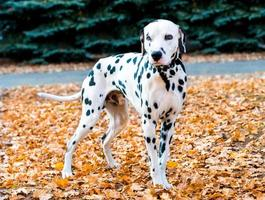 Dalmatian in autumn.
