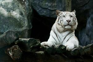 White bengal tiger photo