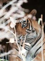 Bengal tiger looking out of a bush