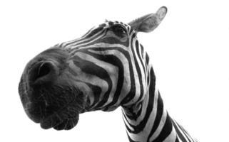 coole zebra