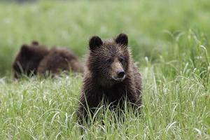 Cubs Playing in grass photo