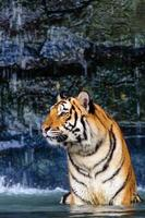 Tiger in the water photo