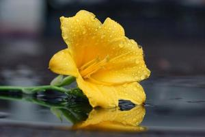 macro mojado amarillo hemerocallis cebra dorada, reflejo