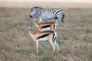 Antelopes and zebra on a background of grass. Safari in