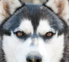 Husky eyes photo