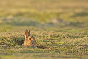 conejo salvaje foto