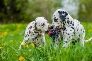 cachorros dálmatas foto