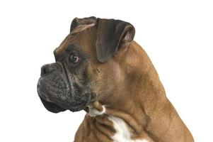 boxer profile photo