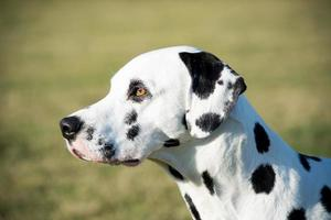 cabeza de perro dálmata foto