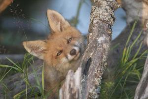 filhote de raposa