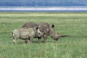 White rhinoceroses in front of flamingo lake